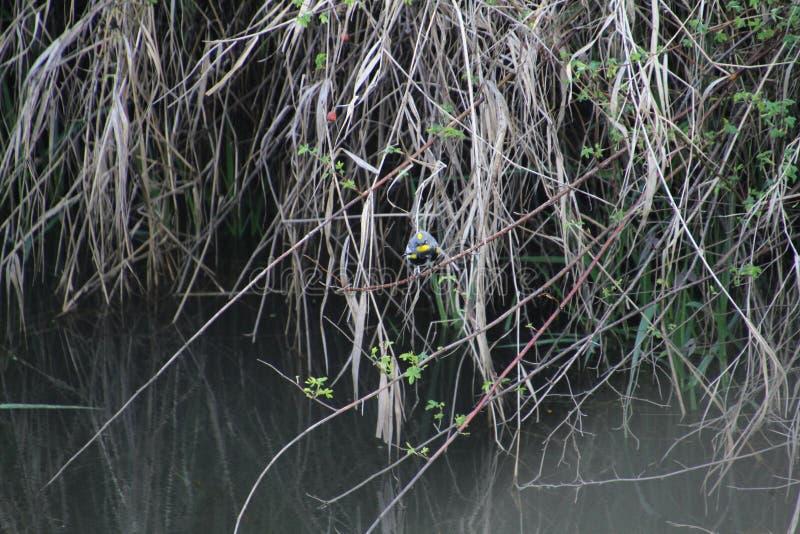 在黑莓藤的一只金黄被加冠的麻雀 库存照片