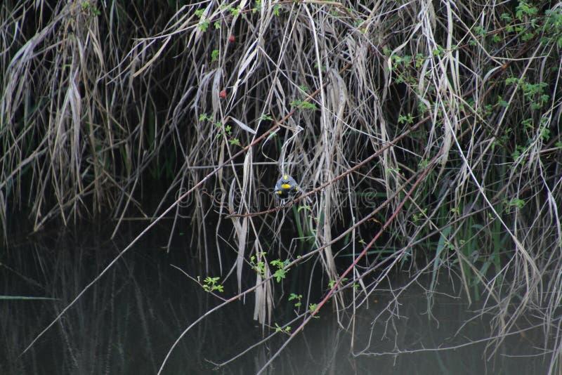 在黑莓藤的一只金黄被加冠的麻雀 免版税库存图片