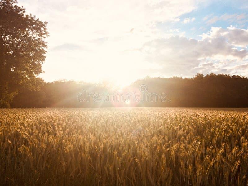 在黑麦领域的金黄夏天日落 免版税图库摄影
