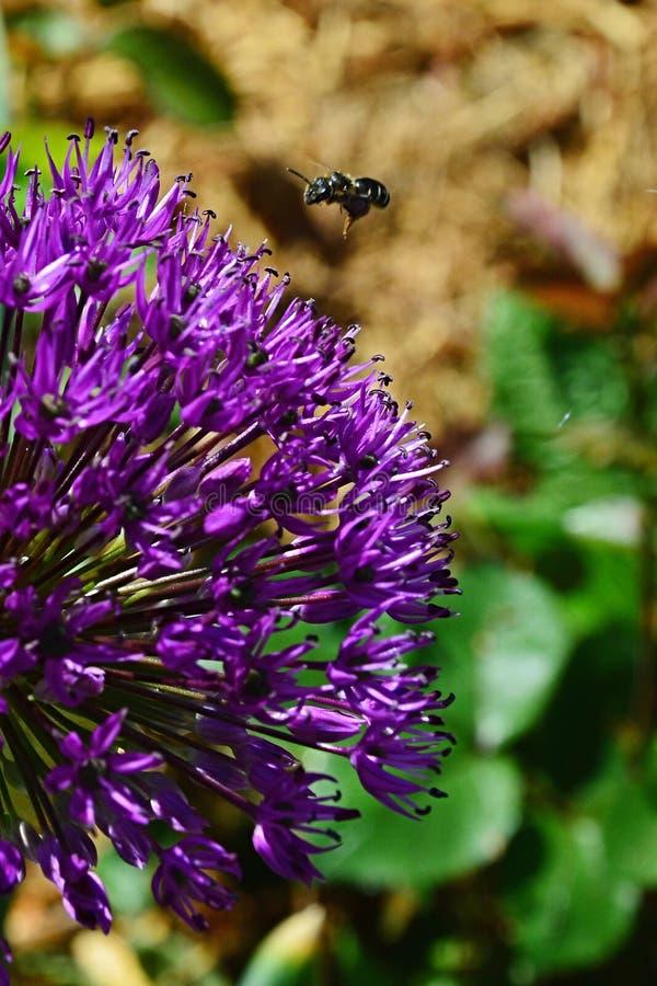 在,也称Dutch的波斯葱装饰紫罗兰色花的西部蜂蜜蜂Apis Mellifera着陆Garlic 图库摄影