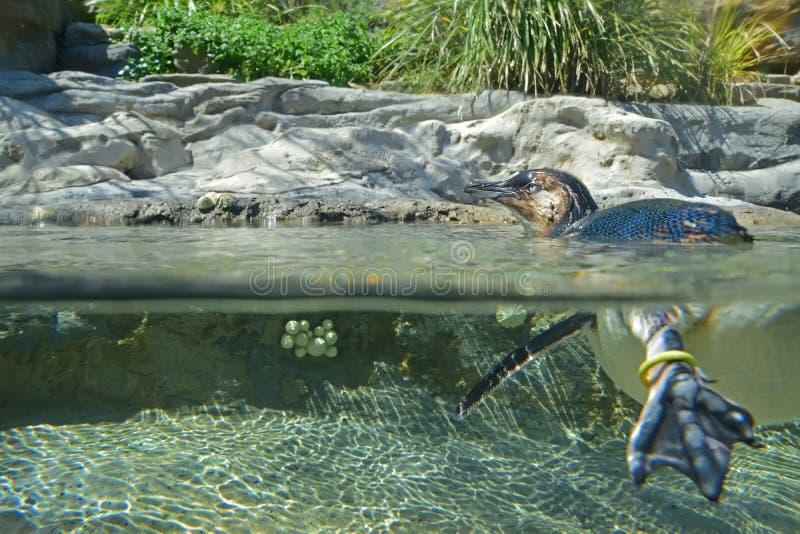 在水上下的小的企鹅 库存照片