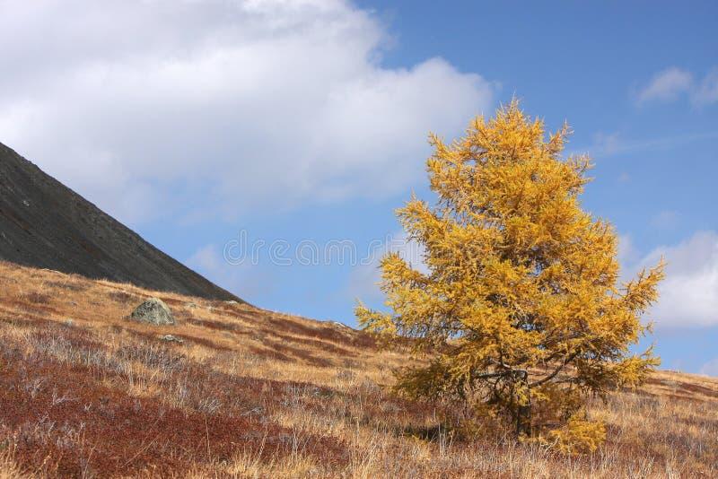 在登上倾斜的偏僻的落叶松属  库存照片