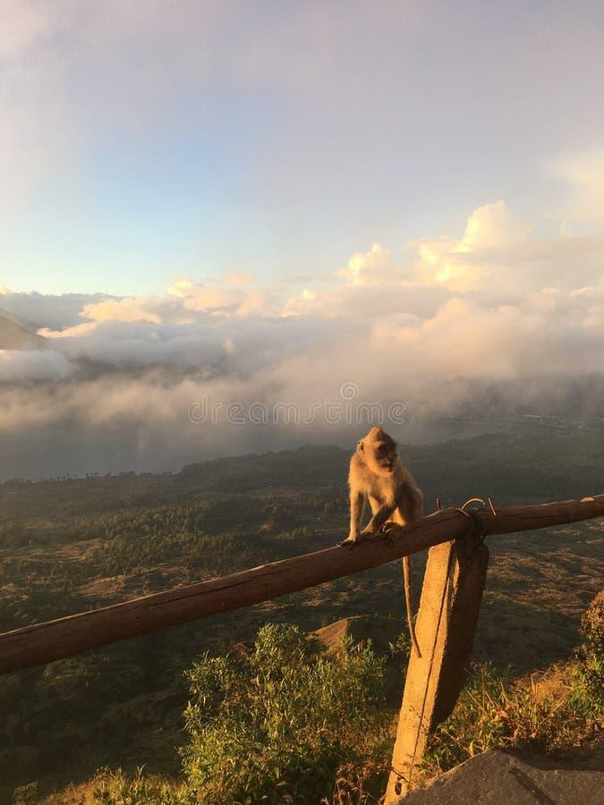 在登上Batur顶部的猴子在巴厘岛,印度尼西亚 免版税库存照片