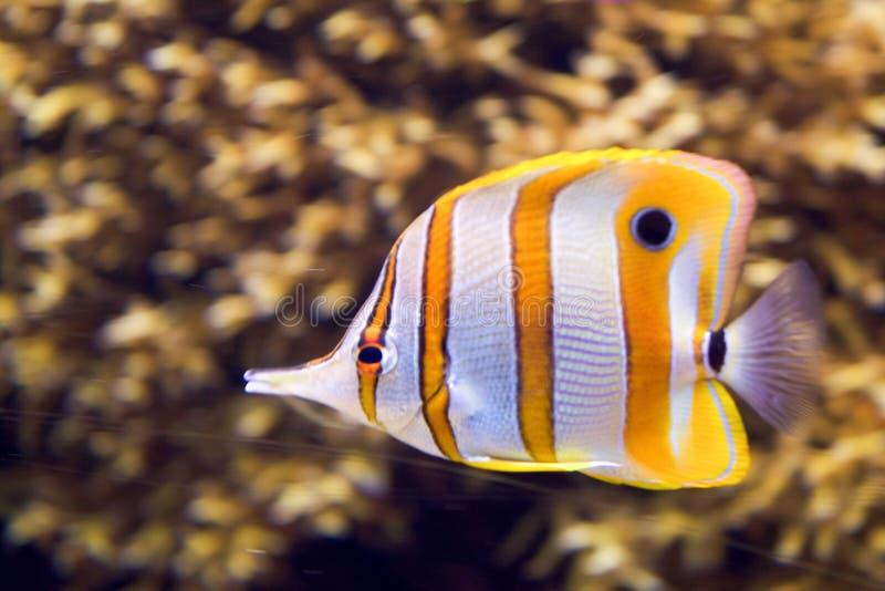 在水下的一条海鱼 免版税库存图片