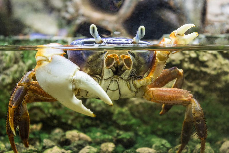 在水下的螃蟹 库存图片