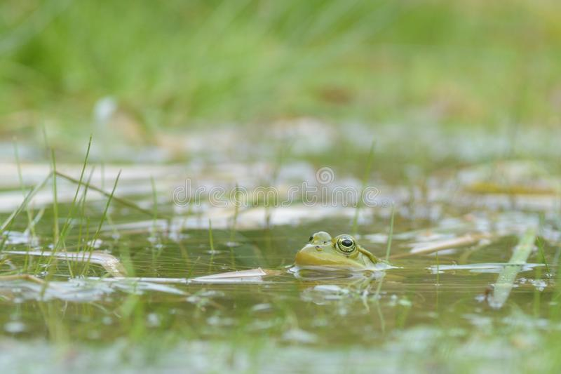 在水下的青蛙 免版税库存照片