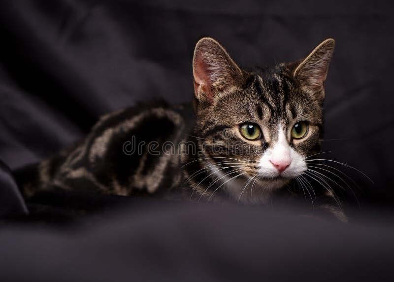 在黑丝绸的平纹小猫 免版税库存照片