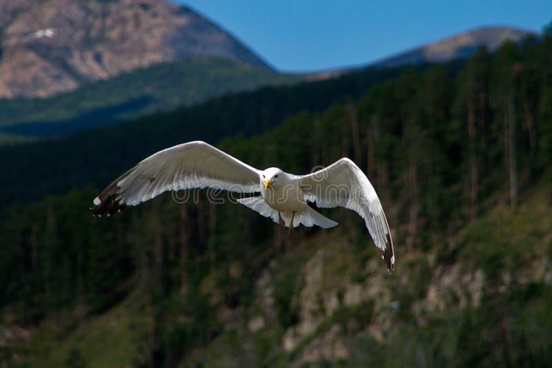 在贝加尔湖的鸥 库存照片
