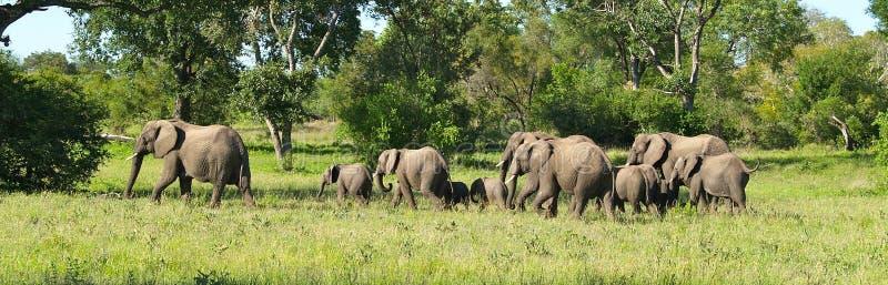 在活动中大象的牧群 库存照片
