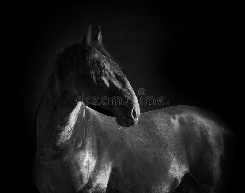 在黑单色口岸隔绝的黑kladruber马画象 库存图片