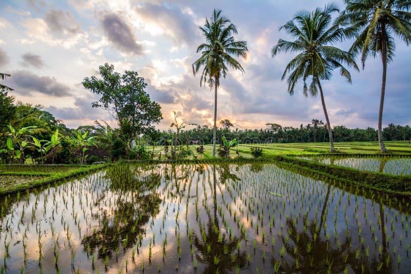 在巴厘岛米领域,印度尼西亚的惊人的日出 免版税库存图片