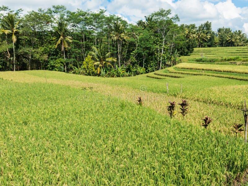 在巴厘岛,印度尼西亚的米耕种 免版税图库摄影