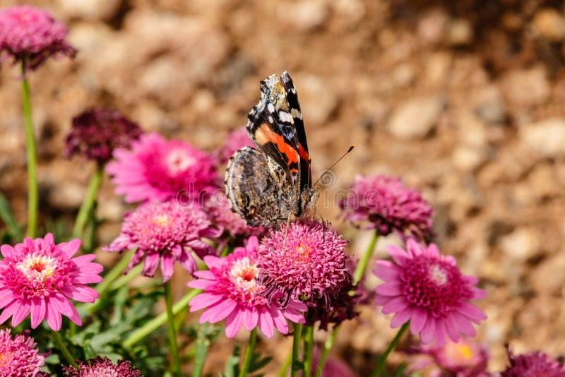 在延命菊雏菊,菲尼斯的被绘的夫人蝴蝶 免版税库存图片