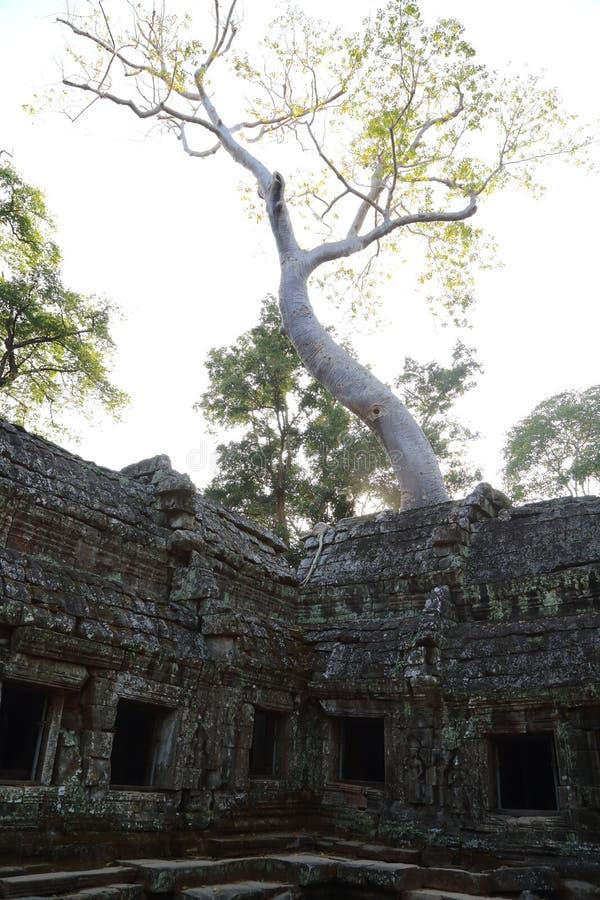 在吴哥窟的大树 免版税库存照片