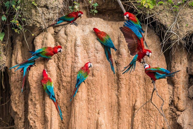 在黏土的金刚鹦鹉在秘鲁亚马逊密林舔在Madre de Di 免版税库存图片