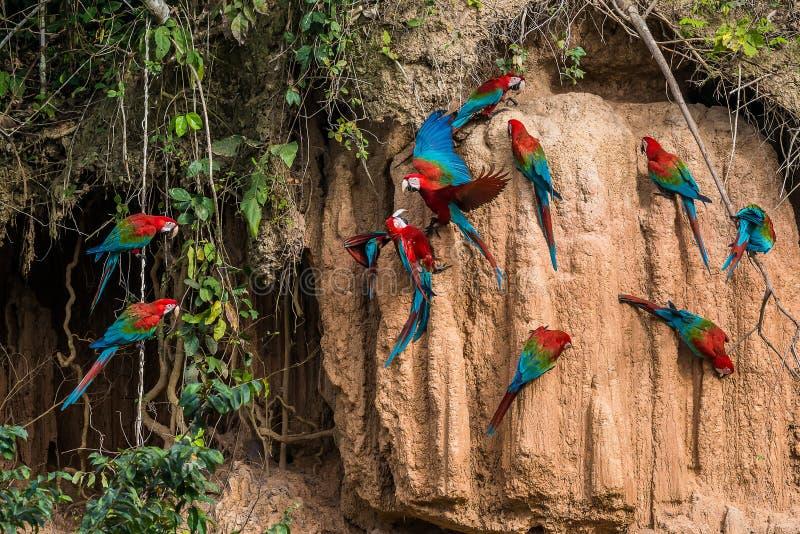 在黏土的金刚鹦鹉在秘鲁亚马逊密林舔在Madre de Di 库存图片