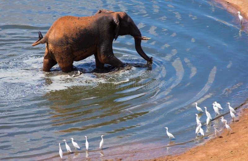 在水坑的大大象 库存照片