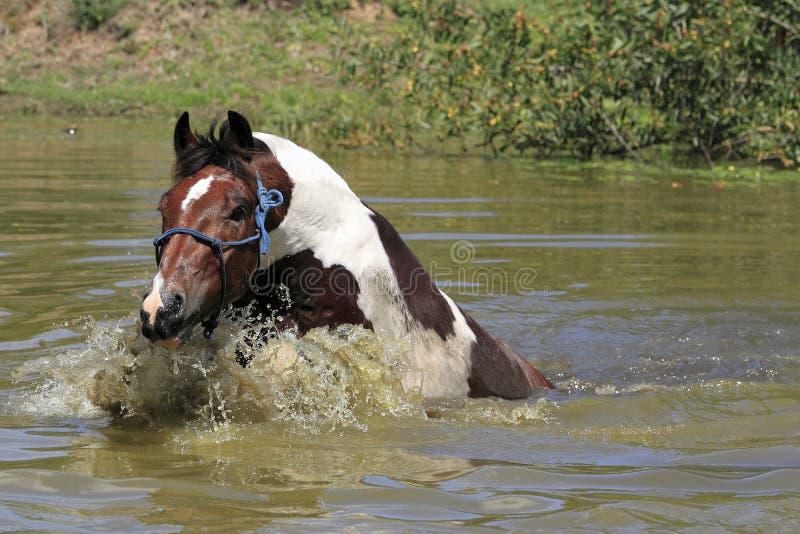 绘在水坝的马游泳 免版税库存照片