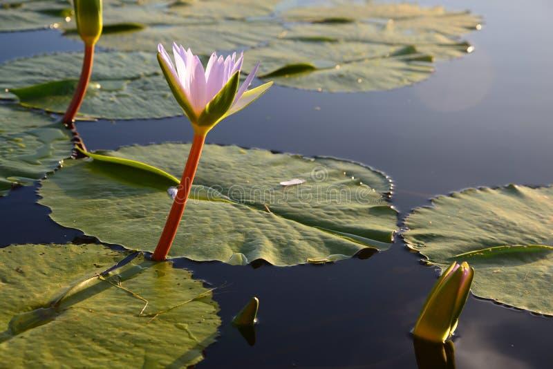 在水坝,庭院路线,南非的荷花 库存图片