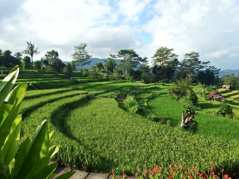 在伴奏者的米领域,巴厘岛 免版税库存图片