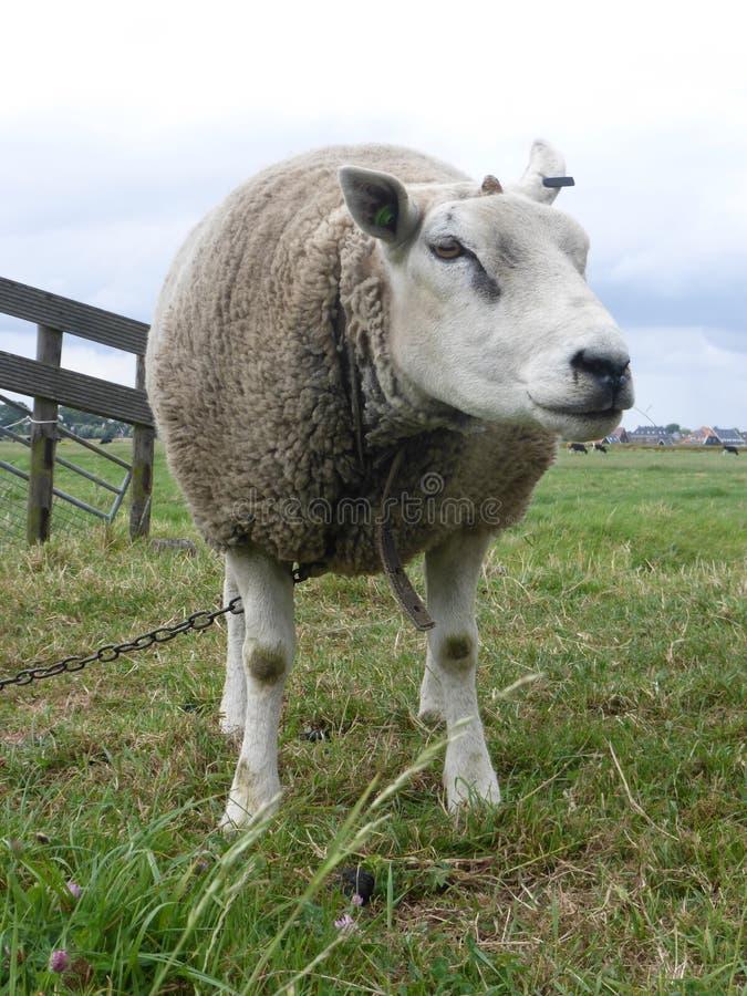 在贝姆斯特尔草甸的白羊在荷兰 库存图片