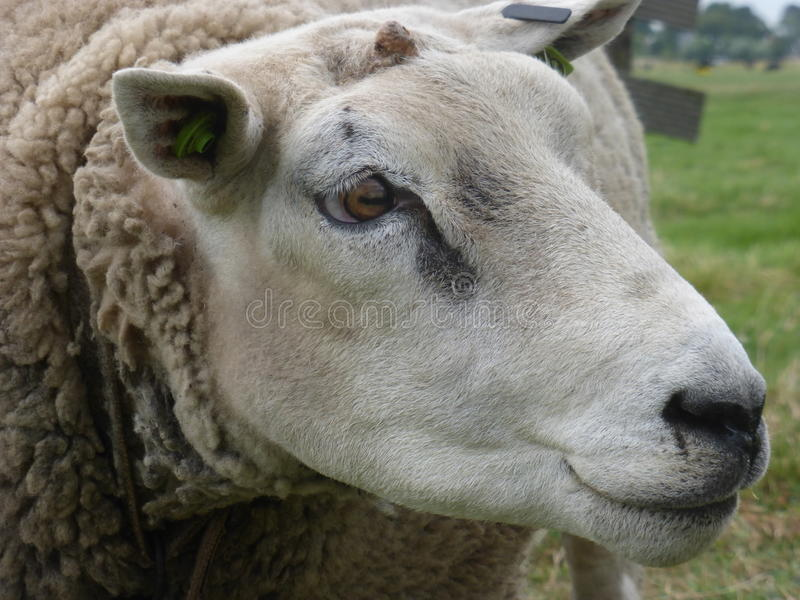 在贝姆斯特尔草甸的白羊 库存图片