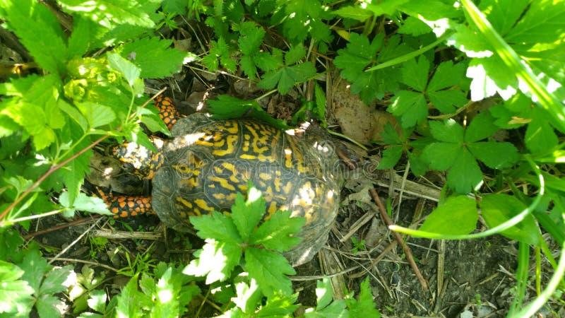 在2018年5月11日的西印第安纳起来发言森林上的五颜六色的乌龟 免版税库存图片