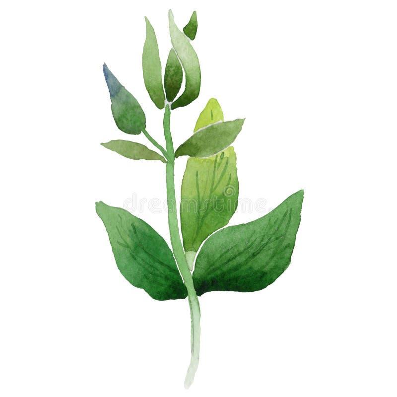 在水彩样式的野花蓝色aquilegia花叶子被隔绝的 向量例证