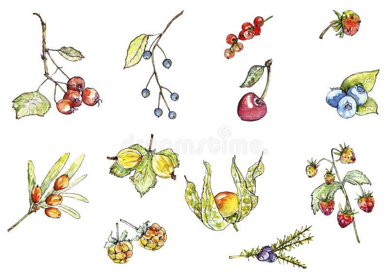 在水彩的野生莓果 皇族释放例证