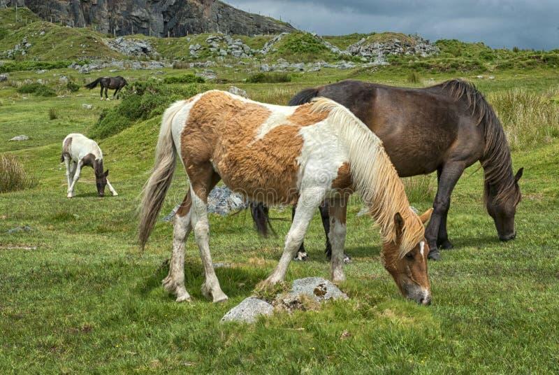 在奴才康沃尔郡,英国附近停泊小马 免版税库存图片