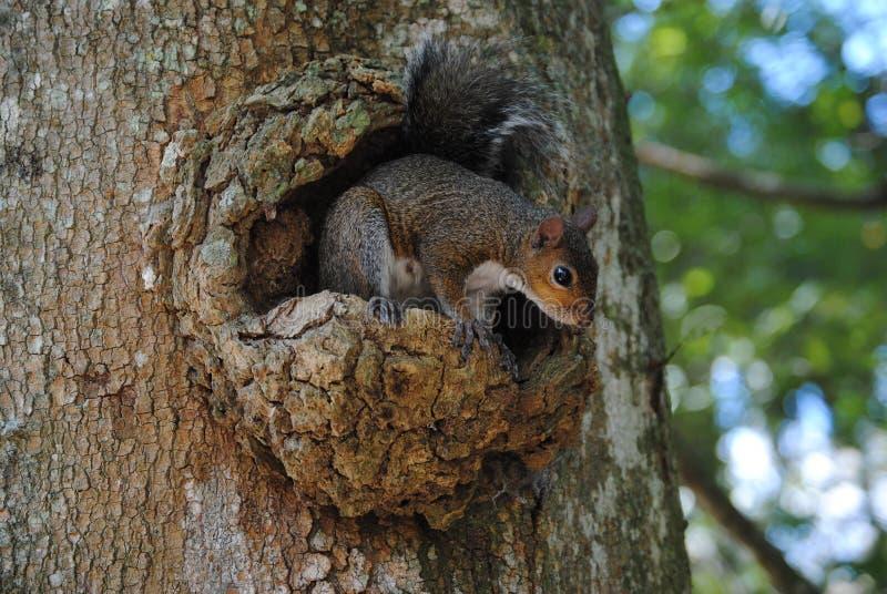 在寻找一些食物的树的灰鼠 免版税图库摄影