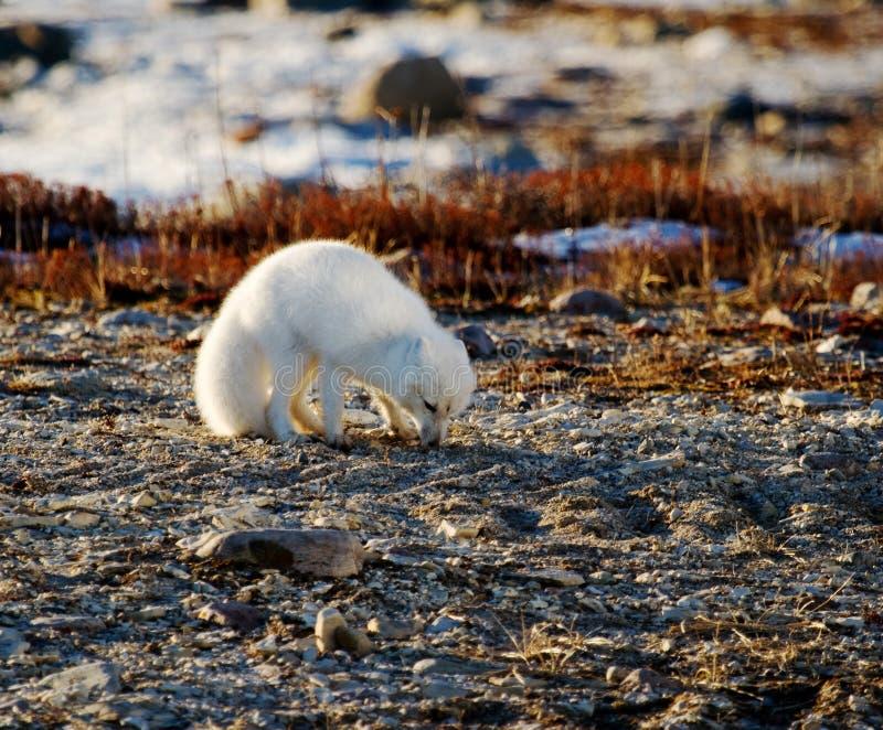 在寻找好的寒带草原地形的白狐 免版税库存照片