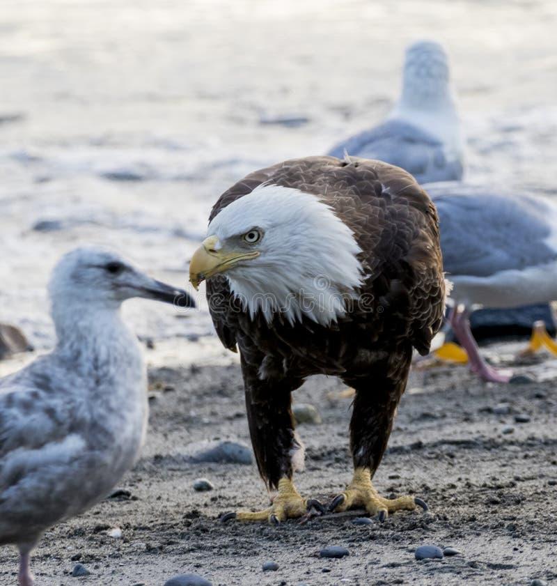 在寻找鱼的海滩的白头鹰 库存照片