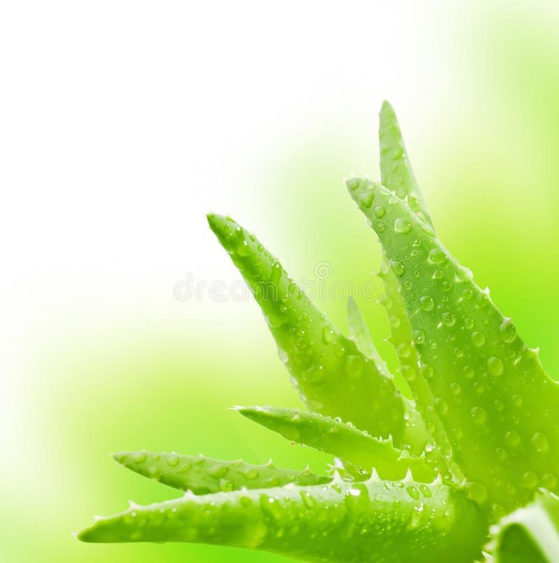 在维拉白色的芦荟新鲜的查出的叶子 库存图片