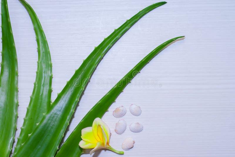 在维拉白色的芦荟新鲜的查出的叶子 图库摄影