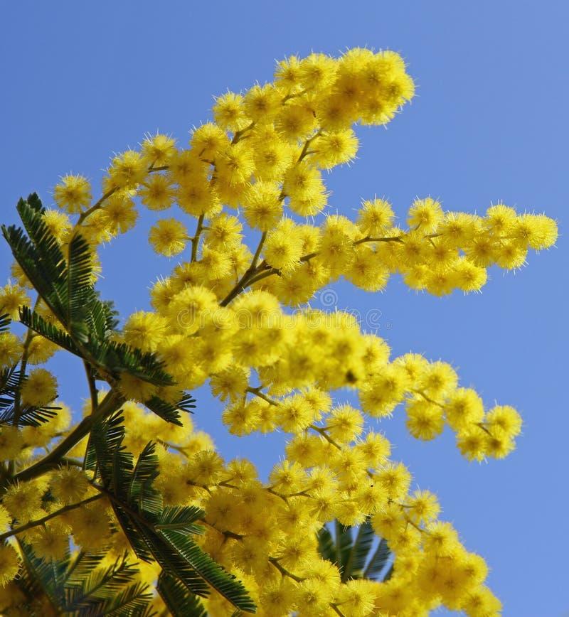 在绽放和蓝天的美丽的黄色含羞草 库存照片