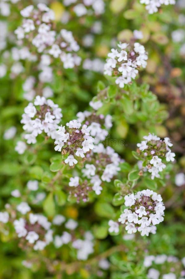 在绽放白花特写镜头的麝香草植物银女王/王后有机从事园艺的草本草本 库存照片