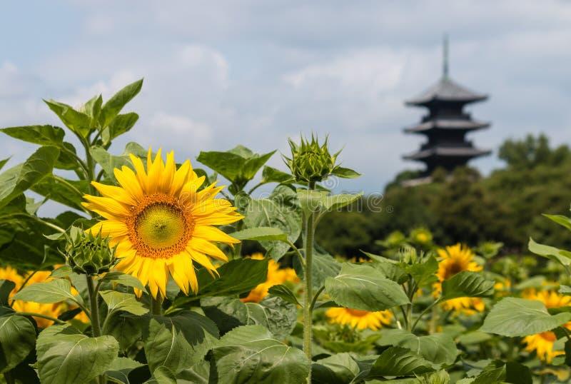 在绽放的向日葵与木塔 库存照片
