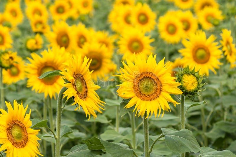 在绽放的向日葵领域 免版税库存图片