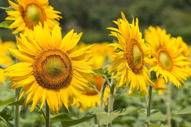 在绽放的向日葵 免版税库存图片