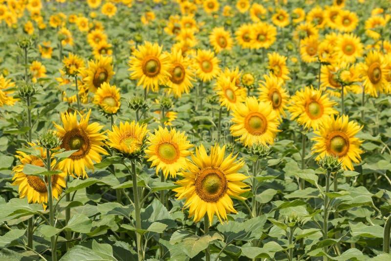 在绽放的向日葵 免版税图库摄影