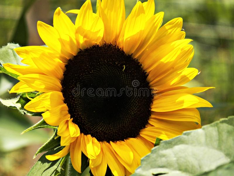 在绽放的向日葵! 免版税库存图片