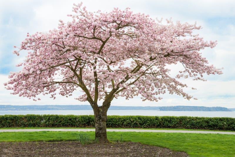 在绽放的日本樱桃树在海岸 免版税库存图片