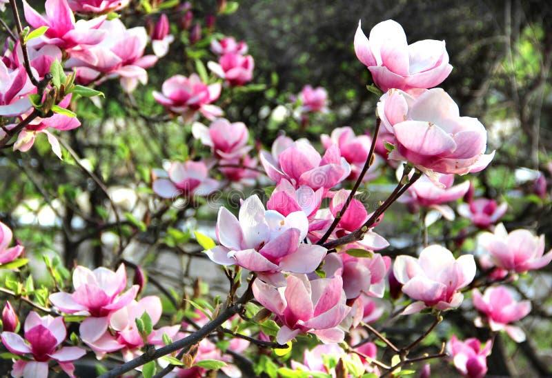 在绽放的春天树 免版税库存照片