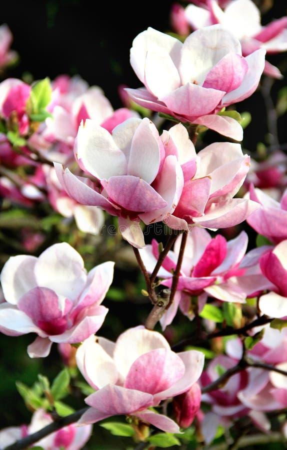 在绽放的春天树 库存照片