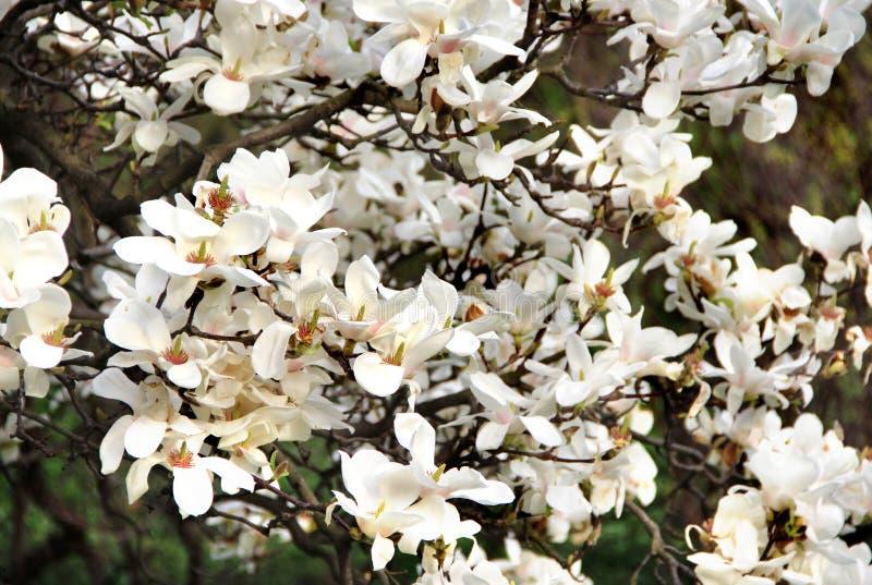 在绽放的木兰树 免版税库存照片