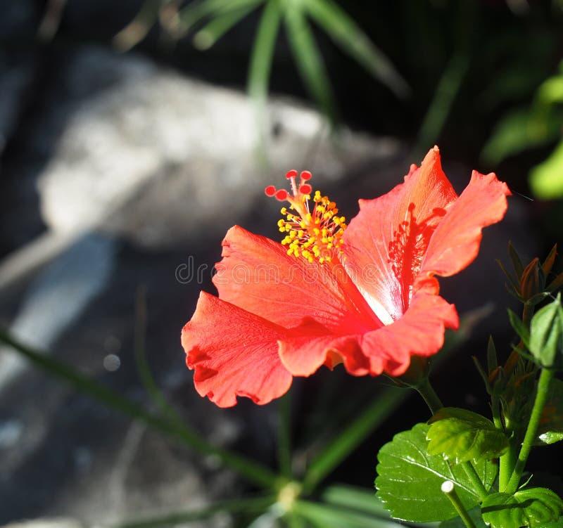 在绽放的木槿 免版税图库摄影