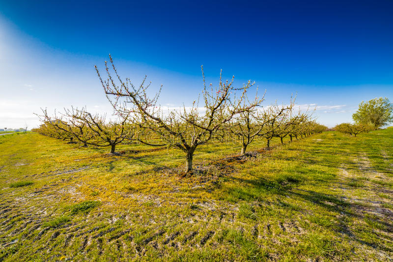 在绽放的桃树对待与杀真菌剂 库存图片
