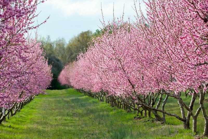 在绽放的桃树 免版税库存图片