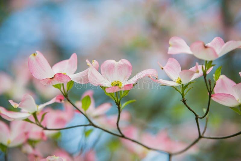 在绽放的桃红色山茱萸与蓝天 库存图片